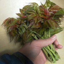 0.8公分香椿苗基地直销 0.8公分香椿苗种植管理 红油香椿苗基地直销红油香椿苗批发价格