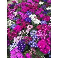 瓜叶菊批发基地,大量出售杯苗哦,春节花期茂盛,颜色多样