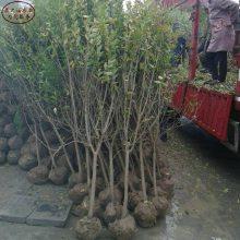 观赏石榴树价格、观赏石榴树价格从哪里引进成熟期是几月、3公分石榴树苗