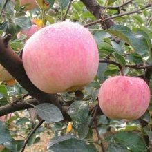 黑钻苹果苗种植基地 黑钻苹果苗批发价格多少钱一棵