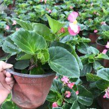 贵州兴义的四季海棠也就是玻璃海棠工程苗基地 量大从优价格好