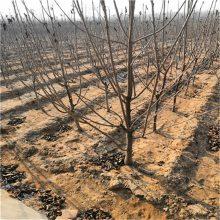 樱桃树苗价格 矮化樱桃苗 哪里便宜3年樱桃苗怎么卖
