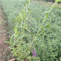 青州专业宿根花卉苗木基地-千屈菜草花-水生植物-工程绿化苗