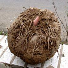 云南魔芋种植基地 魔芋种子 珠海魔芋种子销售 山阳魔芋种子销售