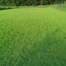 马尼拉草皮 湖北宜昌保持水土绿化用的草种子出售价格 哪里有卖