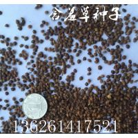 含羞草种子 每斤90元 沭阳绿友种业直销