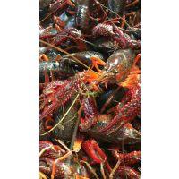 青虾苗 种虾 小龙虾 成品虾 种苗 技术指导 塘口开挖