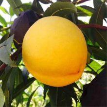 正一园艺场1公分桃树苗 1公分桃树苗品种纯正 一手货源秋彤桃树苗 黄桃树苗基地