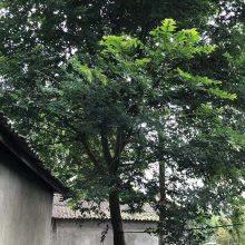 重庆大量出售朴树工程苗 朴树批发基地直销小杯苗幼苗