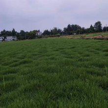 贵州云南河南混播台湾二号草坪批发基地 混播草皮工程苗价格