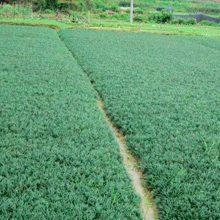 江西新余麦冬草 市政道路绿化工程用的地被绿化草种批发价格 哪里有卖