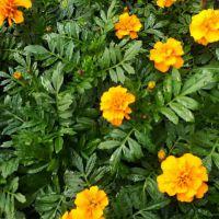 重庆贵州大量出售孔雀草批发基地 橘色孔雀草种植基地价格是0.4元