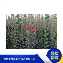 山东黄杨盆苗_坤盛市政绿化苗木供应