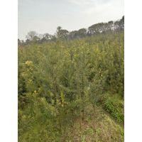江西供应罗汉松、2-3公分罗汉松供应信息、江西碧青千亩苗木场供应信息、乔灌木