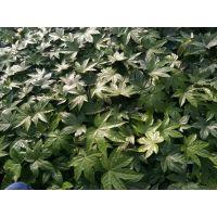 八角金盘基地出售 八角金盘常绿灌木 质量保证