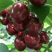 山东批发地径1-4公分矮化樱桃苗 5公分樱桃苗上车价格