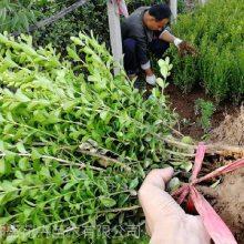 山东豆瓣黄杨种植基地,20-60cm小叶黄杨报价咨询