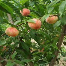 果树苗批发 桃树苗批发 山东正一苗木桃树苗种植批发基地
