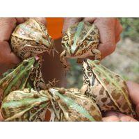 青蛙养殖基地精心培优而出的青蛙种苗纯正,存活率高 低至0.01元/尾 欢迎来考察