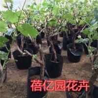 矮化盆栽葡萄 挂果葡萄盆栽 巨峰盆栽葡萄 阳台庭院盆栽葡萄