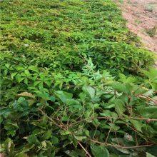 出售爬藤植物 爬山虎 凌霄花 紫藤树 围墙护坡苗木