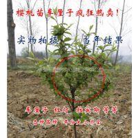 壹棵树布鲁克斯车厘子育苗种植技术