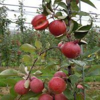 红色之恋 红肉苹果苗 红肉苹果两年苗 观赏苹果新品种 春晖牌