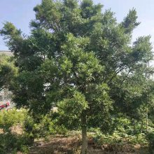 精品瓜子黄杨_小叶黄杨米径14公分,杆高127公分