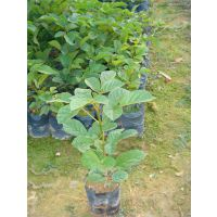 谭公果苗场常年供应80公分-1米高黄花风铃木苗,三年生黄花风铃木