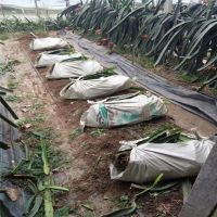 大量供应火龙果苗 红绣球火龙果苗现挖现卖 红心火龙果苗批发价格