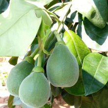 泰国青柚苗 青柚小苗插秧苗 大量供应杯苗