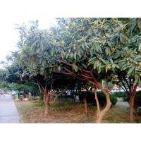 高80cm枇杷树小苗价格1.8元 2019年枇杷树小苗价格表