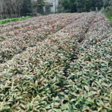 贵州红背桂小苗批发基地出售红背桂工程苗价格是好多呢