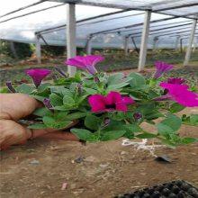 山东矮牵牛种植基地盆栽矮牵牛报价租摆花卉种类
