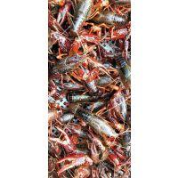 龙虾苗 种虾 成品虾