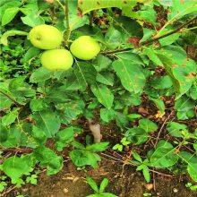 红富士苹果苗 2公分苹果苗2年苹果苗批发价格