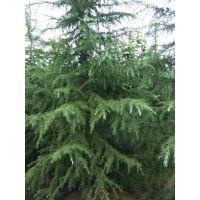 大量出售1-10米的雪松,四季常绿哦,成都基地直销,规格齐全