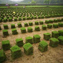 道路绿化草皮 贵州凯里马尼拉草皮绿化价格