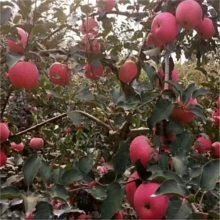 三年鲁丽苹果苗 红富士苹果苗品种纯正 农户直销红富士苹果苗 维纳斯黄金苹果苗批发价格