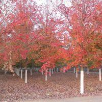 美国红枫十月光辉最新价格 美邦红枫 12公分美国红枫十月光辉报价