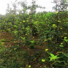 苹果苗价格、矮化苹果苗、2年苗适合全国种植