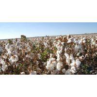 莱悦纺织现货销售 有机棉棉纱*** 匹马棉纱 32s 精梳 单双股 针织机织用纱质量可靠 有证书