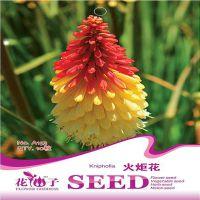 批发袋装花仙子种子 火炬花 鲜花种子 彩包 约10粒 量大优惠
