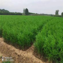 陕西侧柏 四季常青绿化工程苗 荒山造林 净化空气