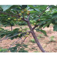 壹棵树早丹车厘子种苗种植技术