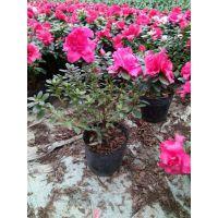 西洋鹃基地址 专业种植户 红色西洋鹃花