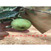 壹棵树 新品种苹果树苗 矮化苹果新品种怎么卖 厂家直销