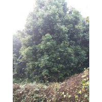 天竺桂种植基地大量出售各种苗木 常绿植物