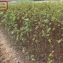 花椒苗、花椒树苗价格、韩城花椒苗种植技术