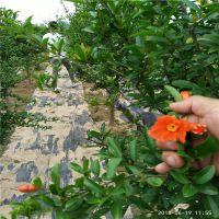 石榴树苗产地 石榴苗种植技术 现挖现卖 当年坐果大红石榴树苗